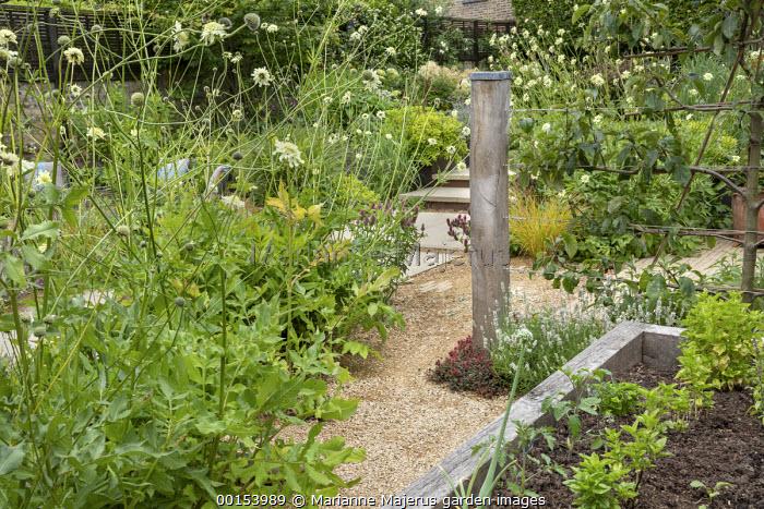 Corner of kitchen garden, Cephalaria gigantea, basil, tomatoes and parsley in timber raised bed, apple tree espalier