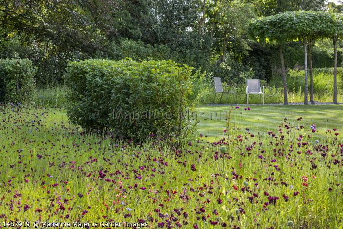 Centaurea meadow, Prunus lusitanica hedge, chairs by umbrella-trained Liquidambar styraciflua