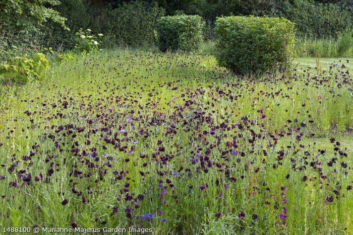 Centaurea meadow, Prunus lusitanica hedge