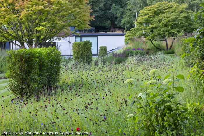 Centaurea in meadow, acer, Prunus lusitanica hedge