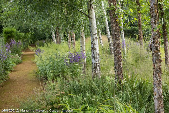Dryopteris filix-mas, campanula and Centranthus ruber under Betula pendula trees