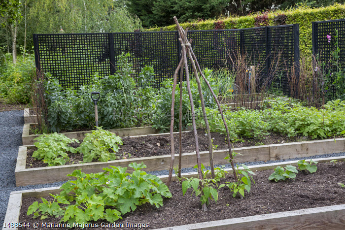 Timber raised beds in kitchen garden, courgette, Runner beans on willow poles, potatoes, Broad beans, black painted trellis screen