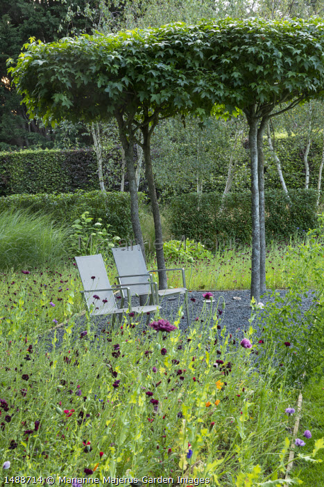 Chairs under umbrella-trained Liquidambar styraciflua, centaurea in meadow