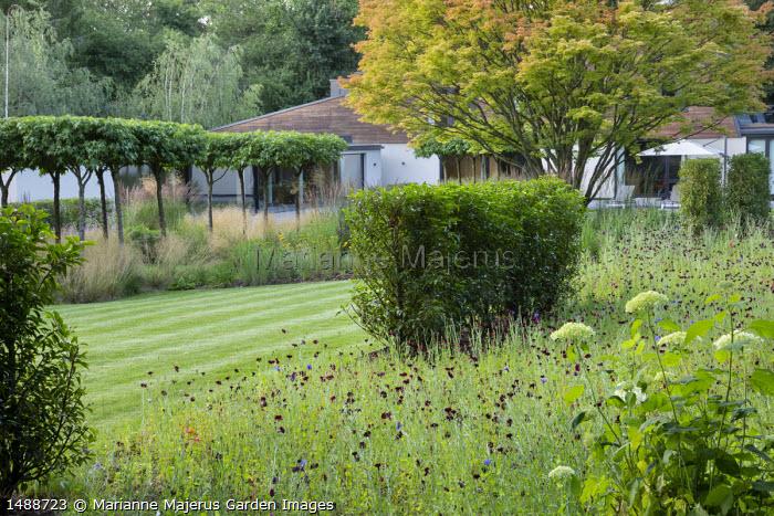 Prunus lusitanica hedges, umbrella-trained Liquidambar styraciflua, centaurea in meadow, acer, mowing stripes in lawn