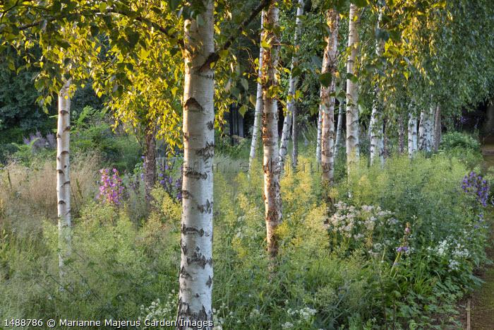 Betula pendula trees underplanted with Centranthus ruber, Astrantia major and campanula
