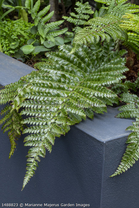 Polystichum polyblepharum in raised bed