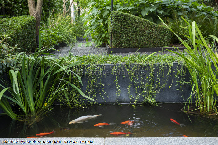 Raised fish pond, clipped Buxus sempervirens