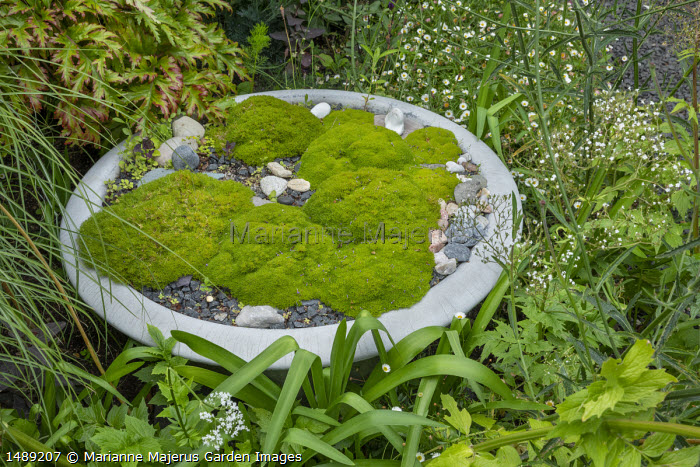 Bowl of Scleranthus uniflorus in border