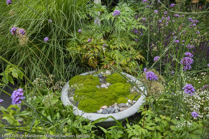 Bowl of Scleranthus uniflorus in border, Verbena bonariensis, Geranium maderense
