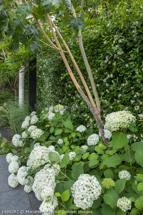 Hydrangea arborescens 'Annabelle', Trachelospermum jasminoides climbing on fence, Acer pensylvanicum 'Erythrocladum'