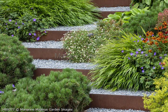 Cor-Ten steel edged steps, Helenium 'Waldtraut', Alchemilla mollis, Pinus mugo var. mugo, Geranium 'Rozanne', Hakonechloa macra, Erigeron karvinskianus