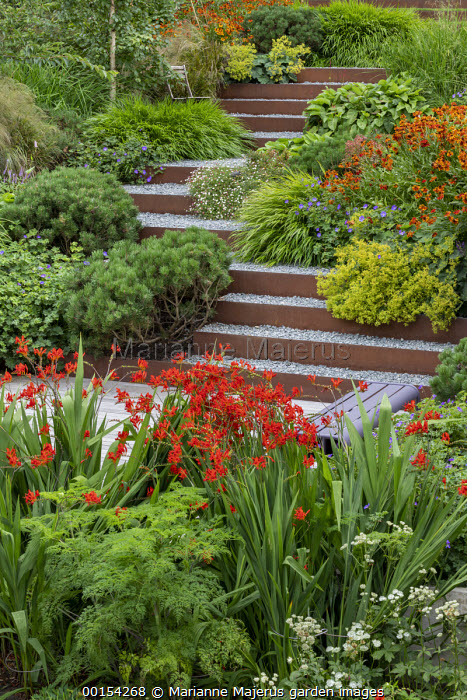 Steps leading up terraced sloping garden, Pinus mugo var. mugo, Hakonechloa macra, Alchemilla mollis, Anemanthele lessoniana, Selinum wallichianum, Crocosmia 'Lucifer', Astrantia major 'Shaggy'