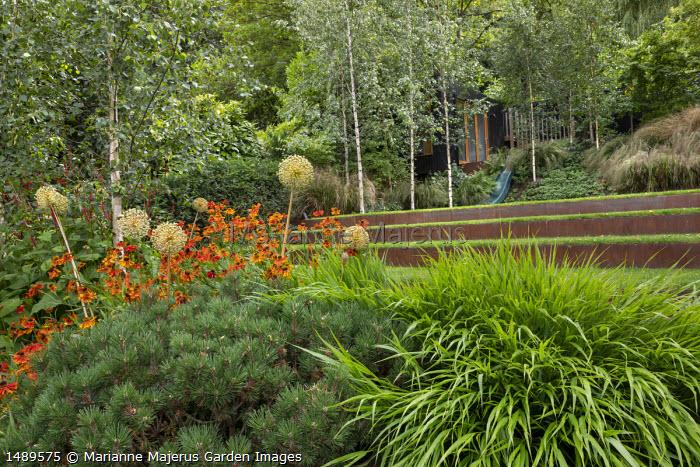 Helenium 'Waldtraut', Hakonechloa macra, Allium hollandicum 'Purple Sensation', Pinus mugo var. mugo, Cor-Ten steel edged steps, Betula pendula subsp. pendula 'Zwitsers Glorie'