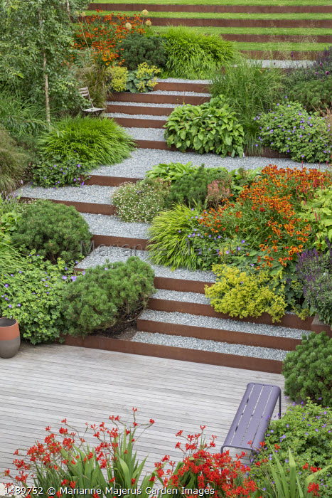 Gravel steps edged with Cor-Ten steel in terraced sloping garden, Helenium 'Waldtraut', Alchemilla mollis, Pinus mugo var. mugo, Crocosmia 'Lucifer', purple bench on decking, Hakonechloa macra