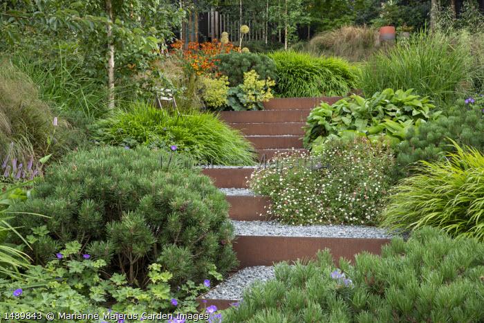 Cor-Ten steel edged steps, Helenium 'Waldtraut', Alchemilla mollis, Pinus mugo var. mugo, Erigeron karvinskianus, Geranium 'Rozanne', Hakonechloa macra
