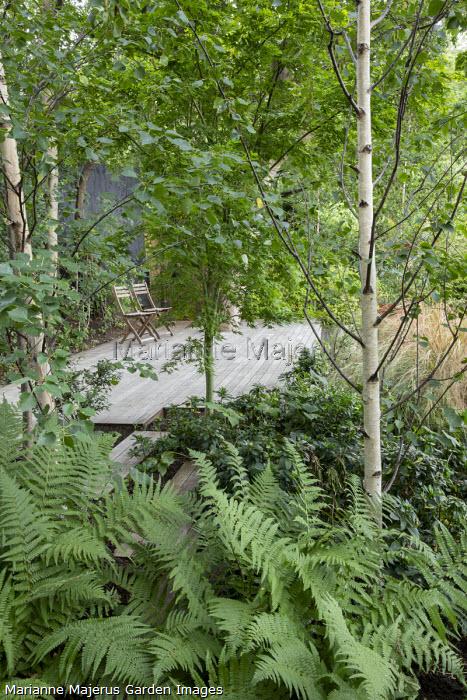 Wooden chairs on decking, Betula pendula subsp. pendula 'Zwitsers Glorie', Euphorbia amygdaloides var. robbiae