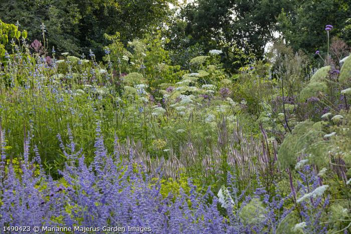 Salvia uliginosa, Perovskia 'Blue Spire', Veronicastrum virginicum 'Erica', Ammi majus