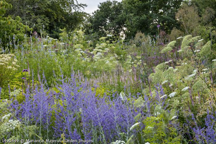 Perovskia 'Blue Spire', Salvia uliginosa, Ammi majus