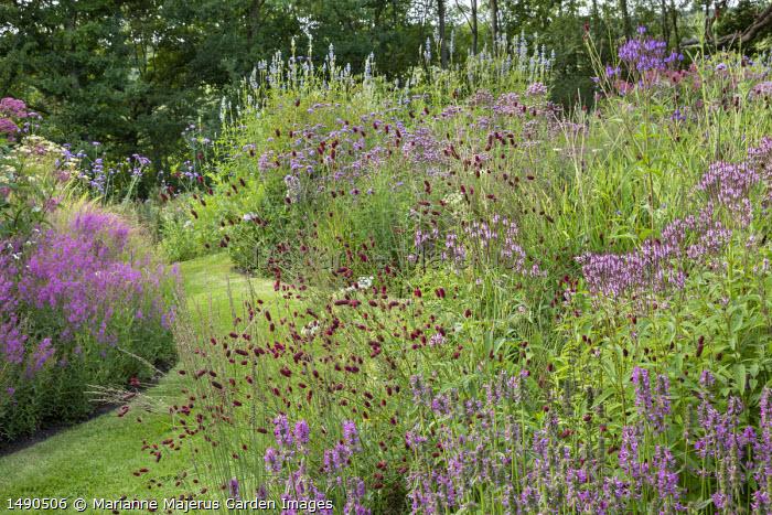 Sanguisorba officinalis 'Red Thunder', Verbena hastata f. rosea, Lythrum salicaria, Salvia uliginosa, grass path, Betonica officinalis 'Hummelo' syn. stachys