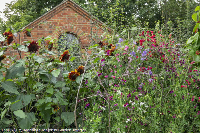 Sunflowers, Sweet peas climbing through natural branch plant support