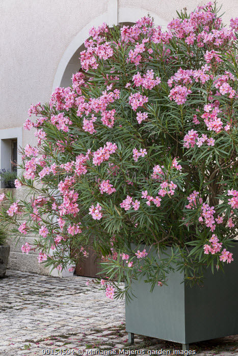 Nerium oleander in large metal container on stone patio