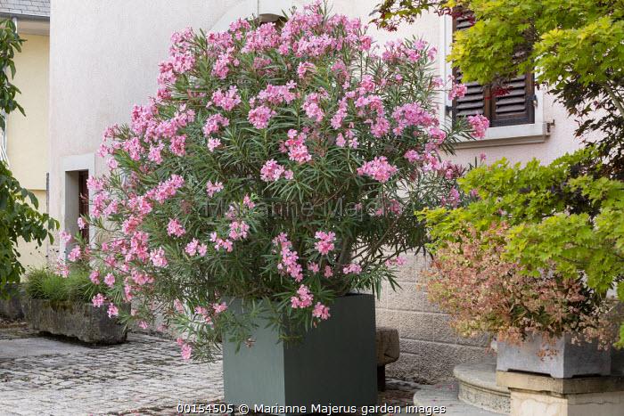 Nerium oleander in large metal container on stone patio, stone trough, Acer shirasawanum 'Aureum'
