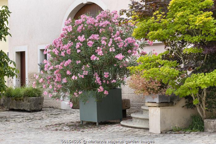 Nerium oleander in large container on stone patio, stone trough, Acer shirasawanum 'Aureum'