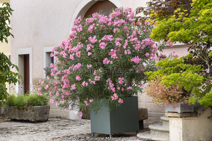 Nerium oleander in large metal container on stone patio, stone trough, Acer shirasawanum 'Aureum'