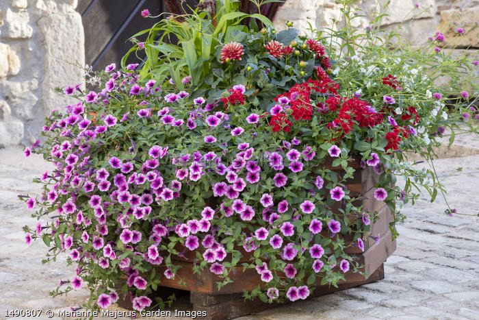 Petunias and dahlia in large timber container on stone patio