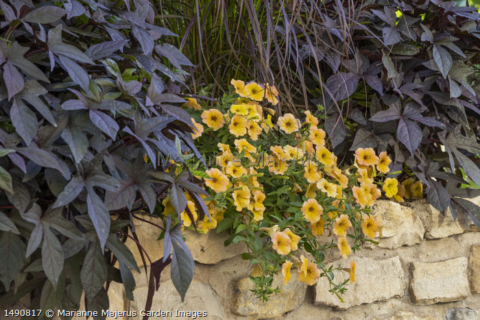 Ipomoea 'Sweet Caroline Raven', calibrachoa and Pennisetum advena 'Rubrum' syn. Pennisetum setaceum 'Rubrum' on stone wall
