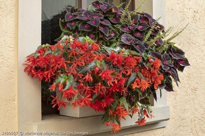 Solenostemon and begonia in windowbox