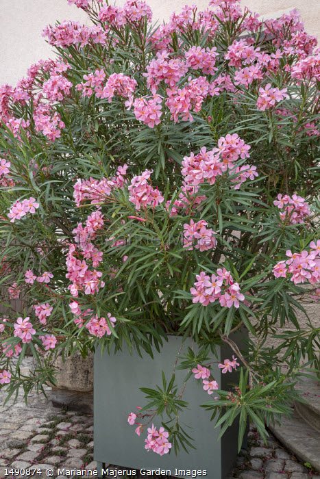Nerium oleander in large container on stone patio