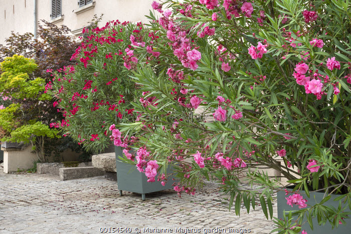 Nerium oleander in large containers on stone patio