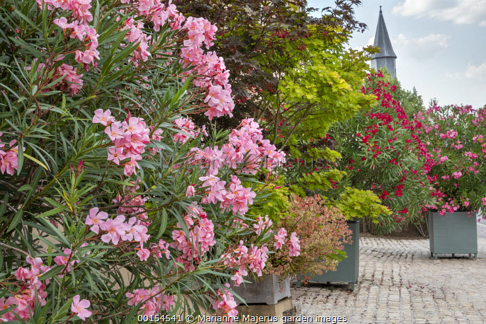 Nerium oleander in large containers on stone patio, acer