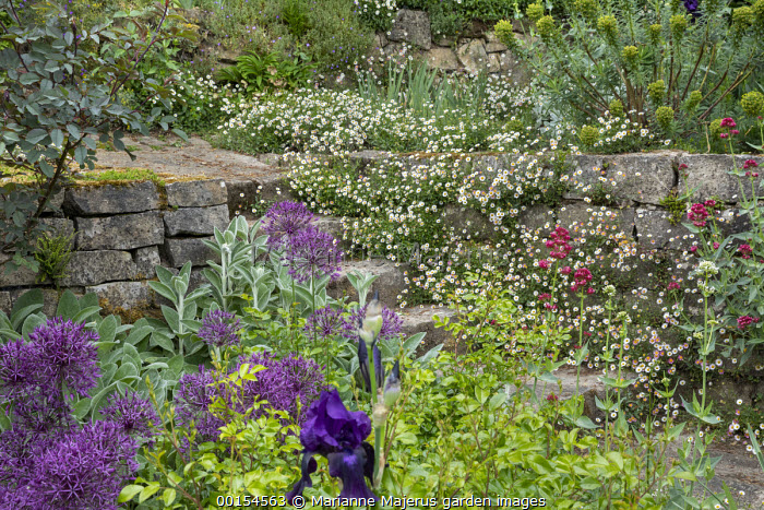 Erigeron karvinskianus, euphorbia and Centranthus ruber growing in cracks in dry-stone wall, alliums