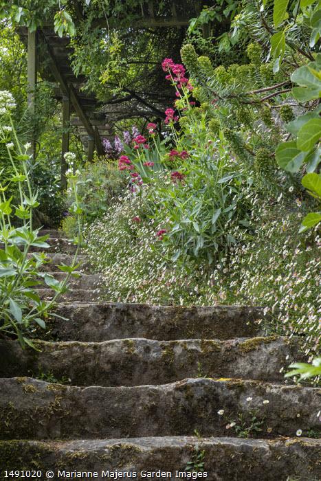 Erigeron karvinskianus, euphorbia and Centranthus ruber growing in cracks around stone steps