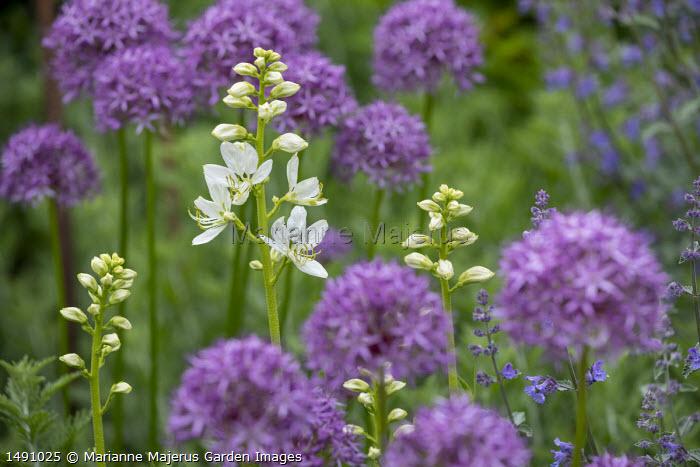 Allium 'Purple Rain', Dictamnus albus