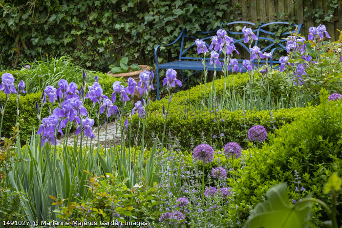 Iris pallida and alliums in box-edged borders, blue metal bench