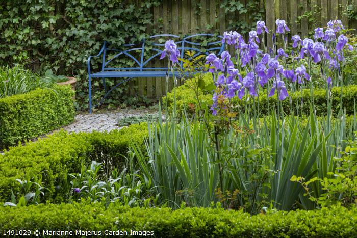 Iris pallida in box-edged border, blue metal bench