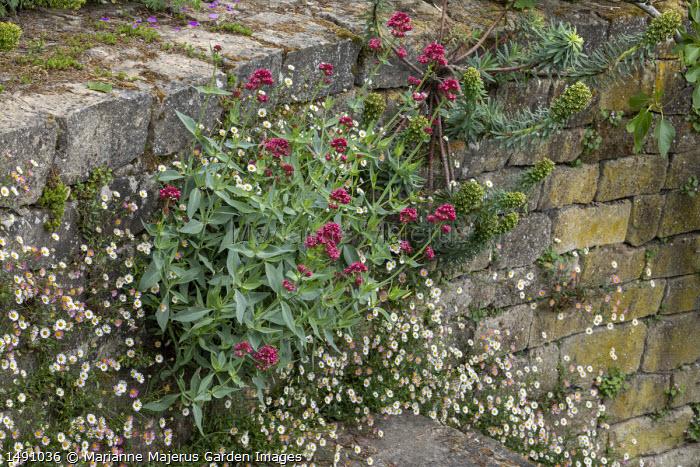 Euphorbia, Erigeron karvinskianus and Centranthus ruber growing in cracks in dry-stone wall