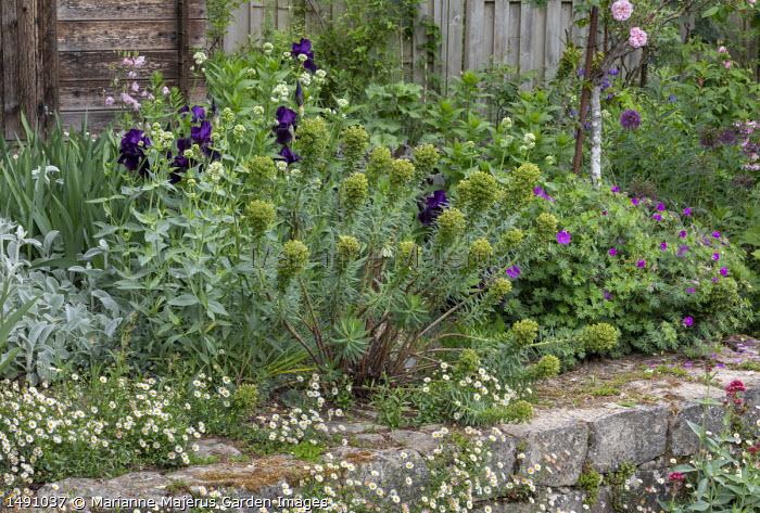 Iris 'After Dark', euphorbia, Aquilegia vulgaris, Centranthus ruber 'Albus', Erigeron karvinskianus, geranium