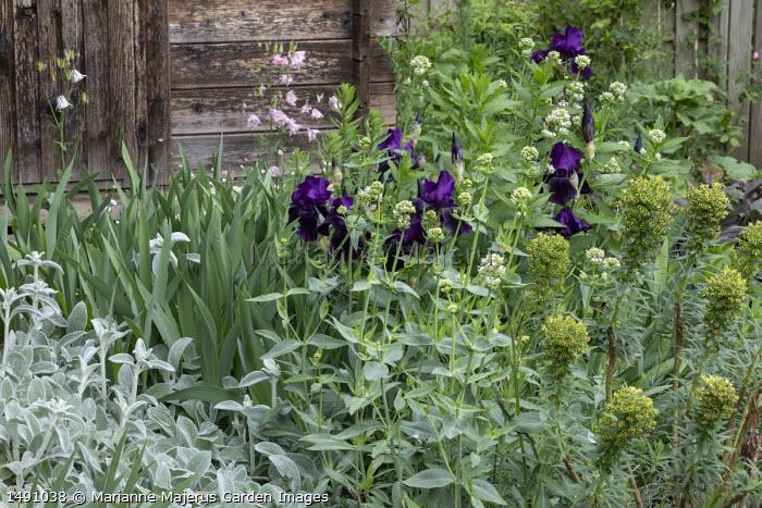 Iris 'After Dark', euphorbia, Aquilegia vulgaris, Centranthus ruber 'Albus', Stachys byzantina