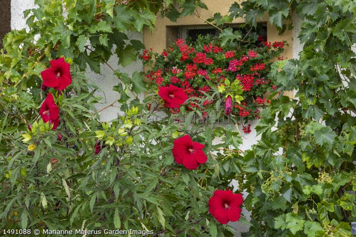 Hibiscus 'Fireball' in metal container, pelargoniums in windowbox, grape vine
