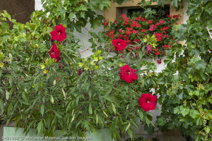 Hibiscus 'Fireball' in metal container, pelargoniums in windowbox, grape vine