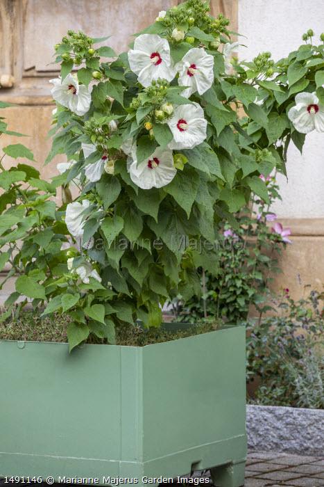 Hibiscus moscheutos in square metal container