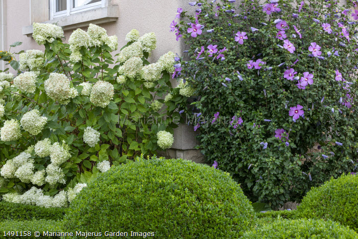 Clipped Buxus sempervirens hedge, hydrangea and hibiscus by house in front garden