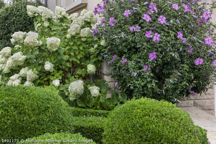 Clipped box balls, hydrangea and hibiscus by house in front garden