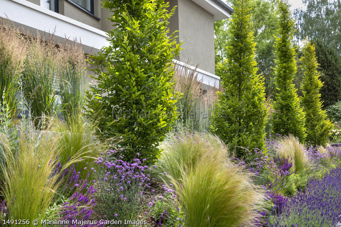 Sloping border in front garden by driveway, Stipa tenuissima, Verbena bonariensis 'Lollipop'