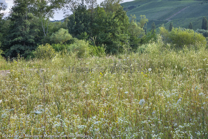 Erigeron annuus and Daucus carota in wildflower meadow