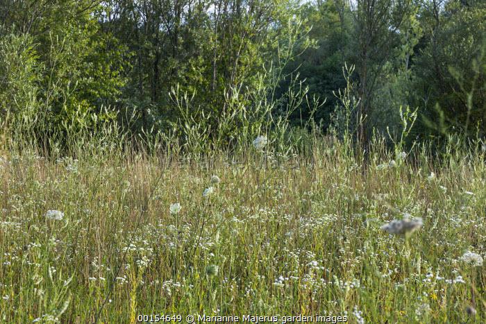Erigeron annuus, Melilotus albus and Daucus carota in wildflower meadow